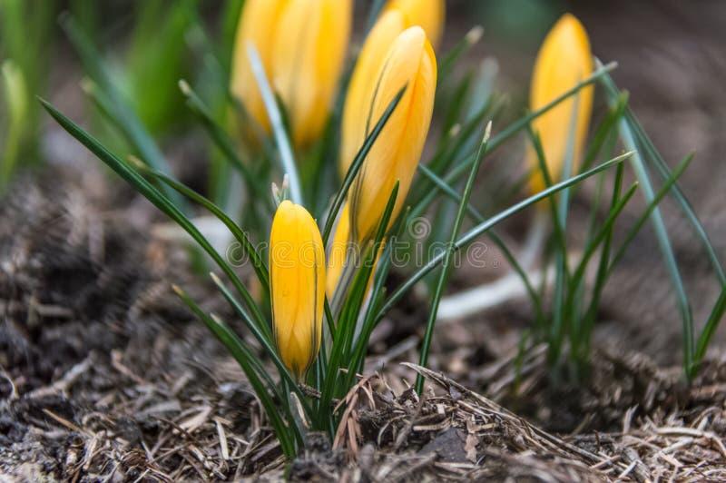 Germoglio giallo circondato da sottile, foglie verdi del tulipano fotografie stock libere da diritti