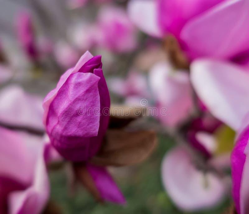 Germoglio giapponese della magnolia fotografia stock libera da diritti