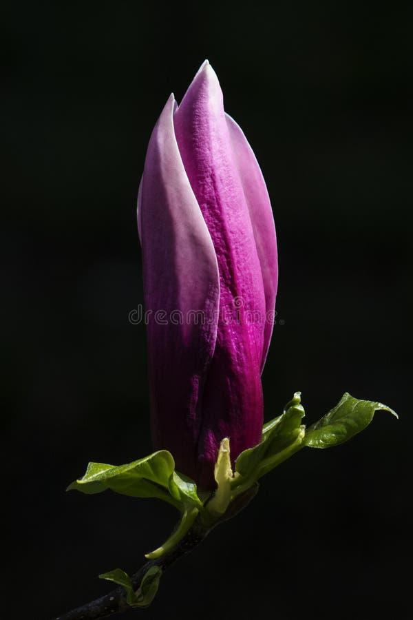Germoglio lilla porpora della magnolia fotografia stock libera da diritti