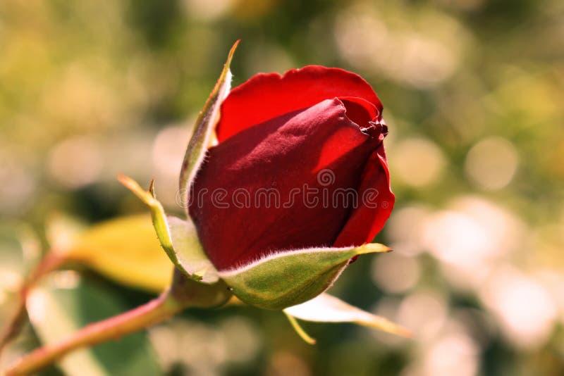 Germoglio rosso della Rosa fotografie stock libere da diritti