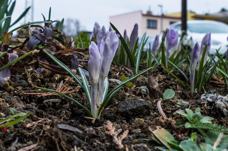 Germoglio sbocciante di una floricultura della lavanda direttamente su suolo immagini stock