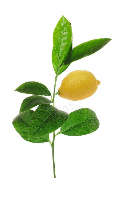 Germoglio verde del limone con frutta matura fotografia stock