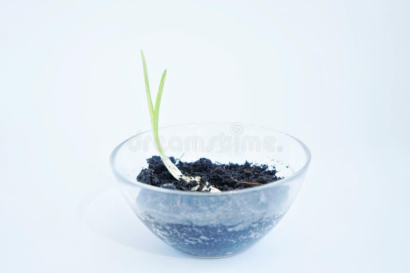 germoglio verde del saganet dell'aglio in un piccolo protochnoe spesso con terra su fondo bianco immagini stock libere da diritti