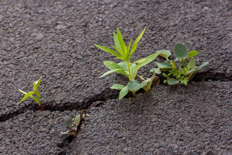 Germoglio verde, pianta su asfalto incrinato grigio, concetto del capo fotografie stock