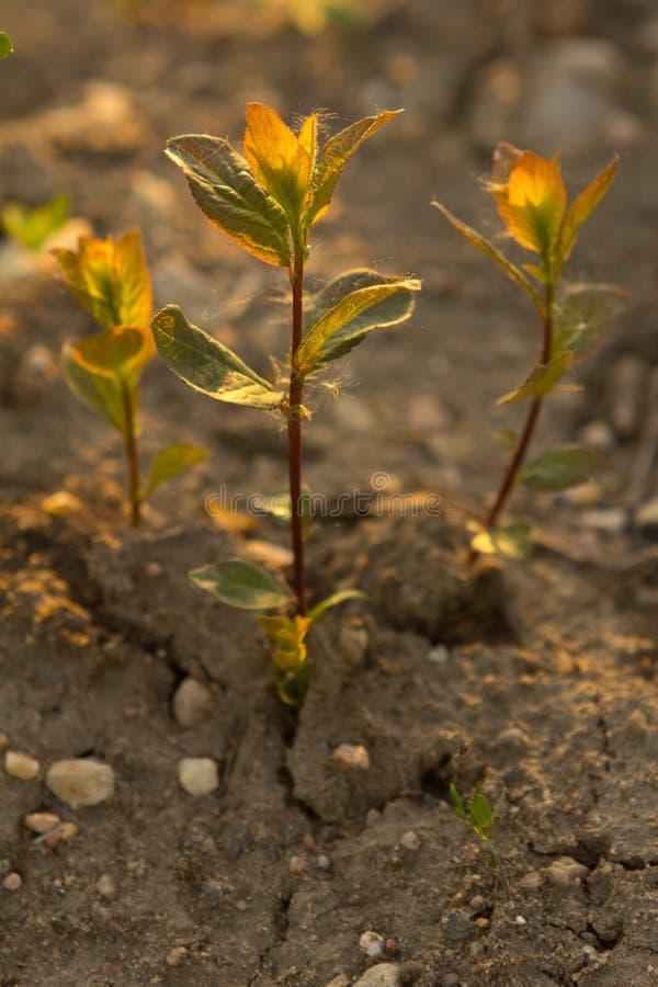 Germoglio verde su terra asciutta fotografie stock libere da diritti