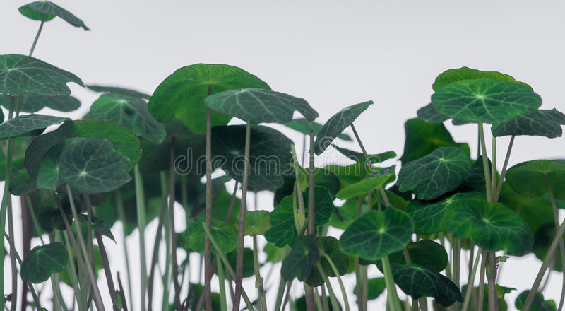 Germs. Of diferit comestibile plants from the garden royalty free stock images