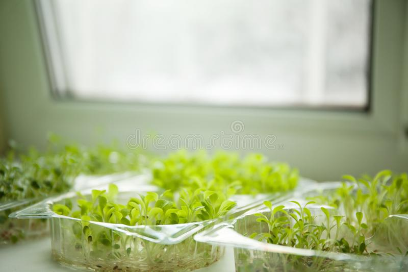 Germs of micro greens on the windowsill.  stock images
