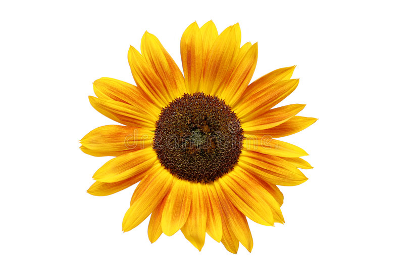 Geroeste zonnebloem royalty-vrije stock foto's