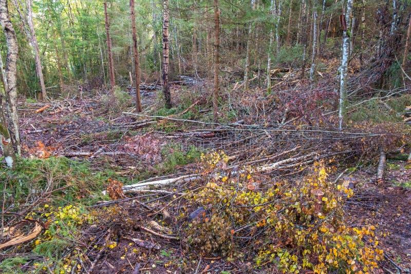 Geroosterd berkbos met een weg voor bosmachine stock foto's