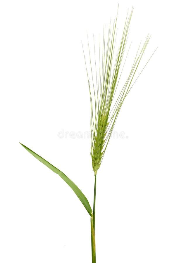 Gerst (Hordeum vulgare) royalty-vrije stock foto's