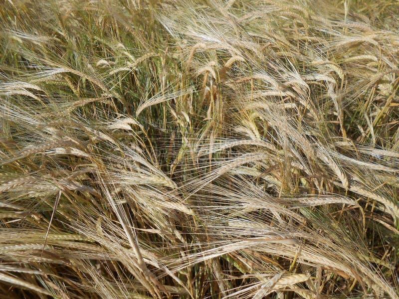 Gerstgebied in de wind stock fotografie