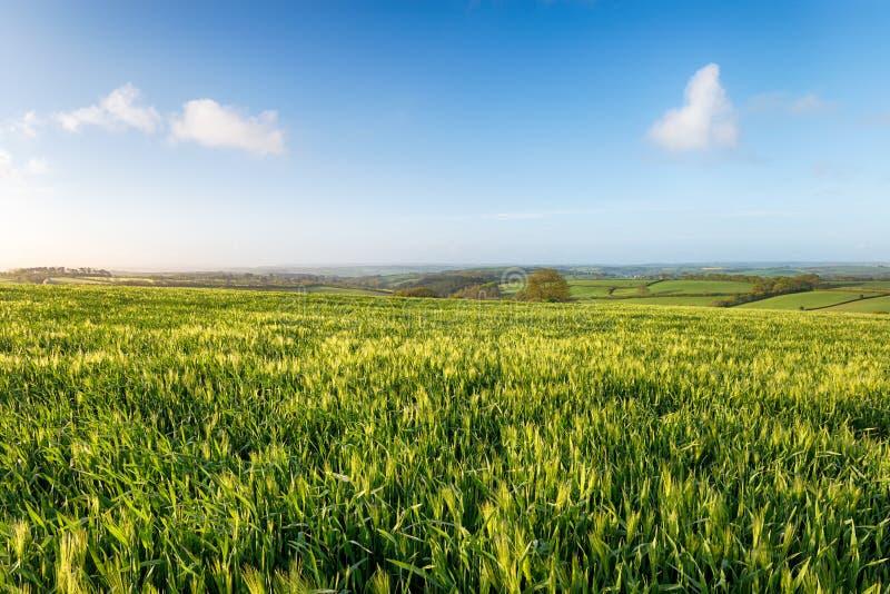 Download Gerstgebieden in Cornwall stock afbeelding. Afbeelding bestaande uit gebied - 54089355
