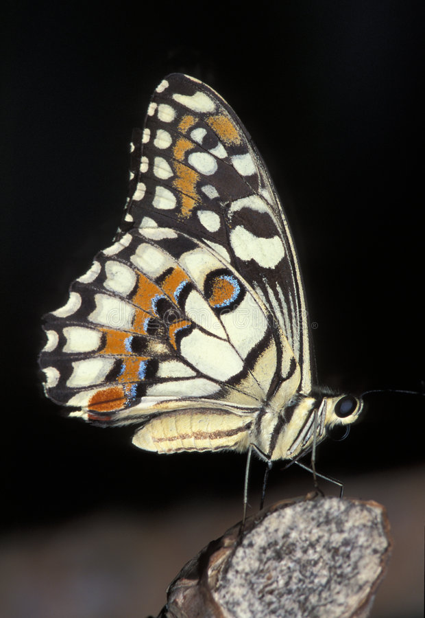 Geruite Vlinder Swallowtail royalty-vrije stock fotografie