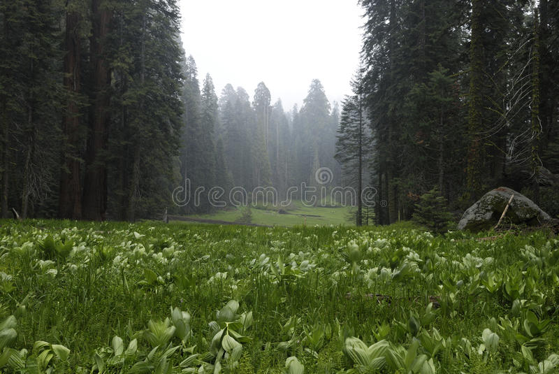 Gerundete Wiese im Mammutbaum-Nationalpark stockfoto