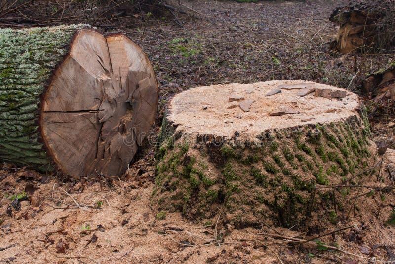 Gesägte Eiche im Wald stockfotos