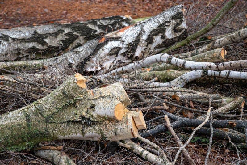 Gesägter Baumstamm- und Schnittsuppengrünniederlassungsstapel Querschnittbaumstumpf Bauholzhintergrund mit Birke meldet Boden an stockfotos