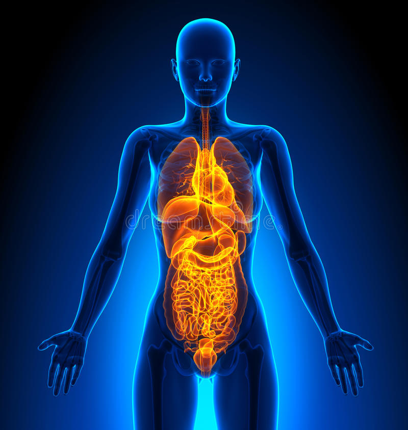 Gesamt- Weibliche Organe - Menschliche Anatomie Stock Abbildung ...