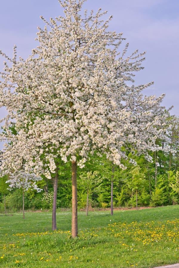 Gesamter Apfelbaum voll mit weißen Apfelblüten auf einem Gras und einem Löwenzahngebiet stockfoto
