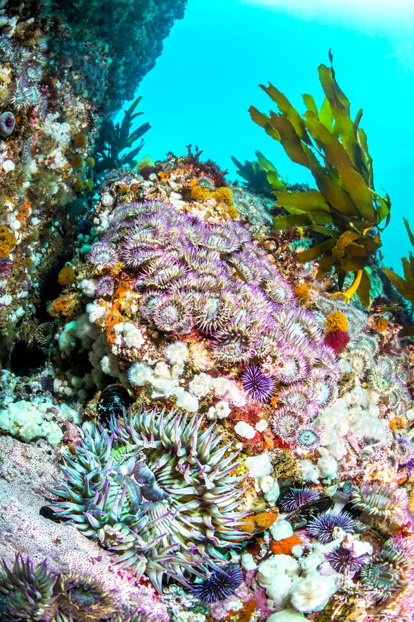 Gesamtes Seeanemonenbett auf Riff lizenzfreies stockbild