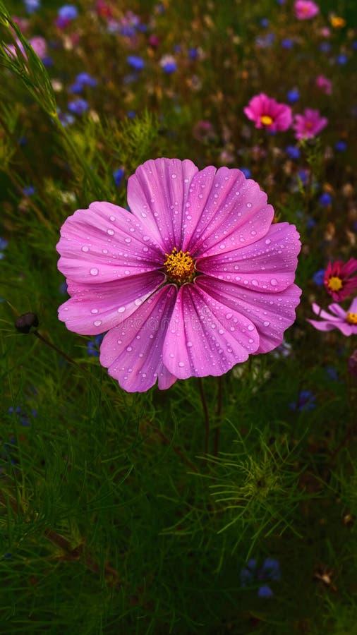 Gesang blomma med daggdroppen royaltyfria foton