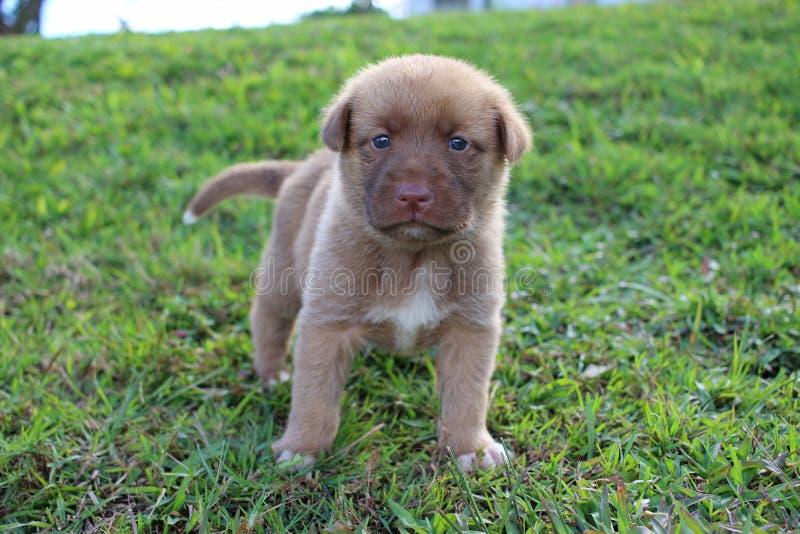 Gesang-Hundewelpe Brown-Neu-Guinea stockbilder