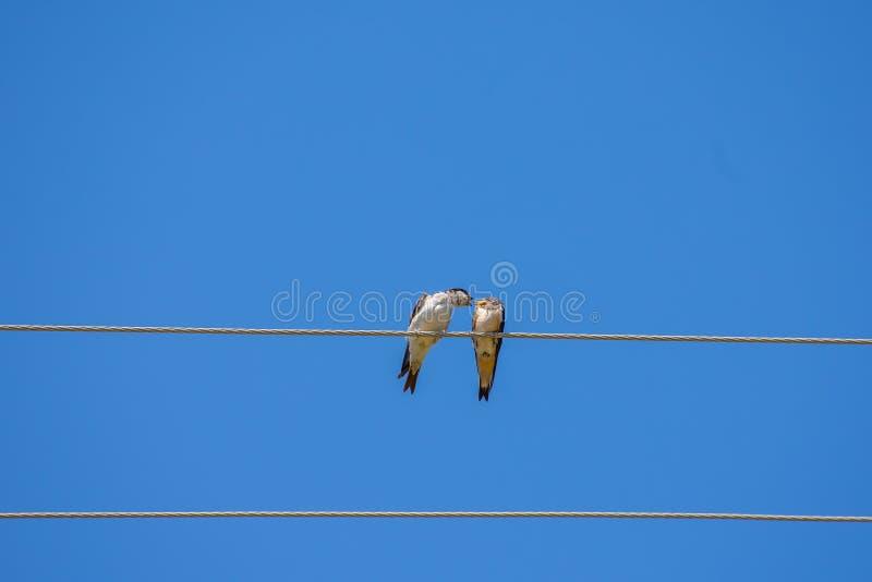 Gesang von zwei Vögeln auf Draht, Hintergrund des blauen Himmels lizenzfreie stockfotografie