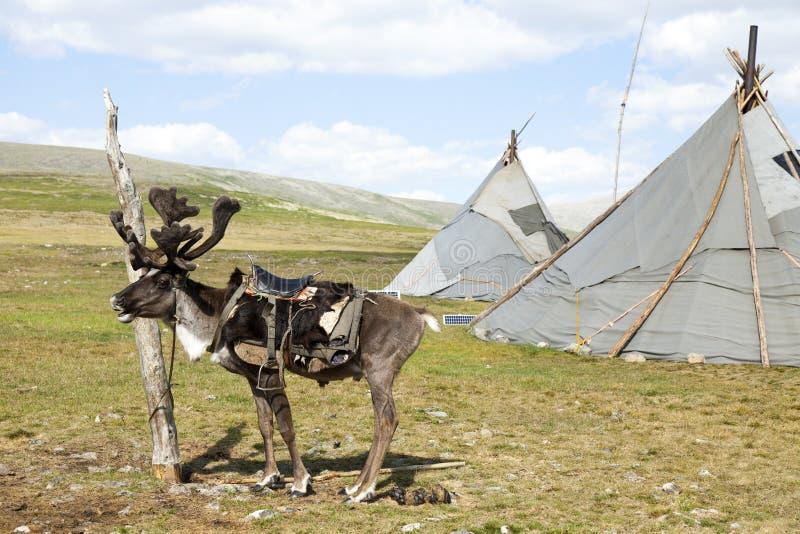 Gesatteltes Ren und Tipi in Nord-Mongolei stockfoto