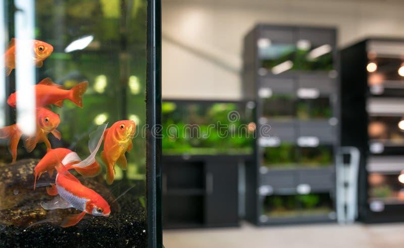 Geschäft- für Haustiereaquarium mit Goldfisch lizenzfreies stockbild