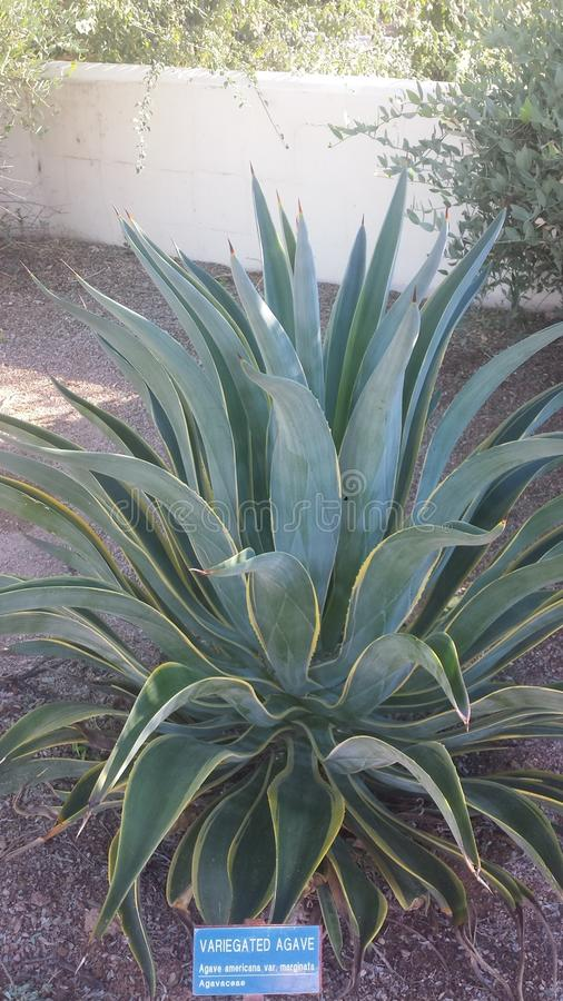 geschakeerde agave royalty-vrije stock afbeelding