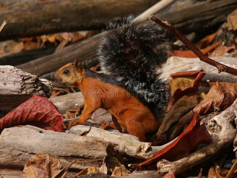 Download Geschakeerde eekhoorn stock afbeelding. Afbeelding bestaande uit bladeren - 32163