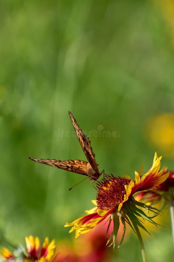 Geschakeerde Fritillary-vlinder op Indische Algemene bloem royalty-vrije stock fotografie