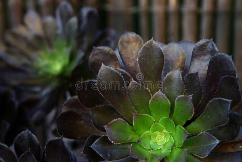 Geschakeerde Succulents royalty-vrije stock fotografie