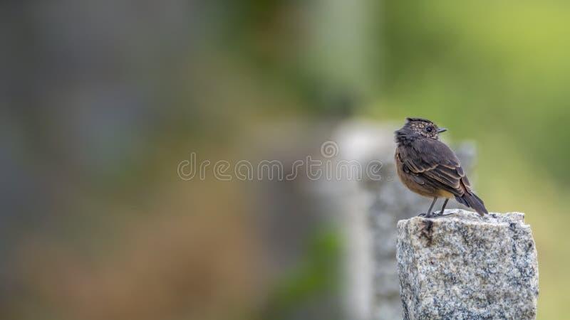 Gescheckte Bushchat-Saxicola caprata Frau - zurück schauend auf einem Granitsäulenfelsen stockfoto