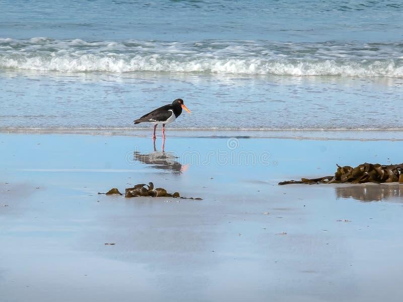 Gescheckter Austernfänger, der an den Picknickfelsen in Tasmanien einzieht lizenzfreies stockfoto