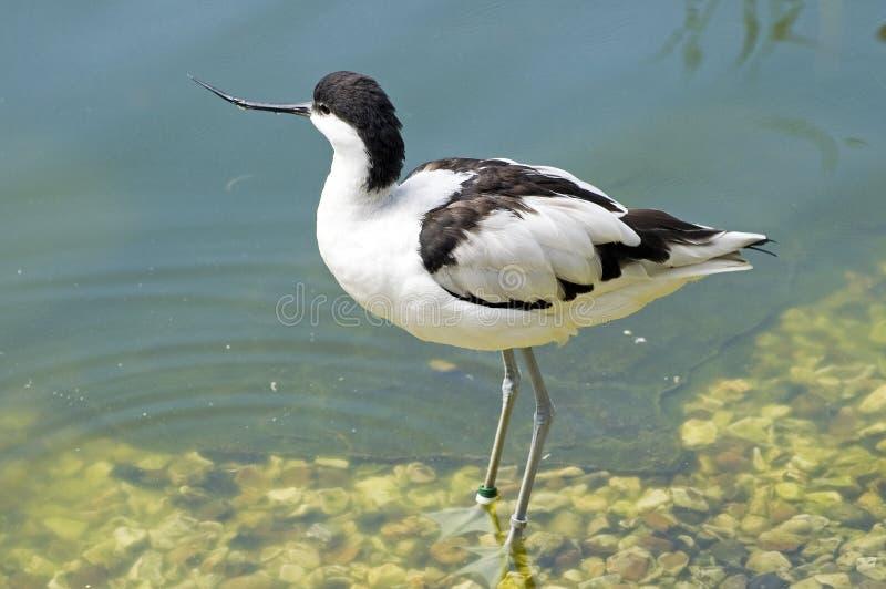 Gescheckter Avocet - Recurvirostra avosetta stockfotografie
