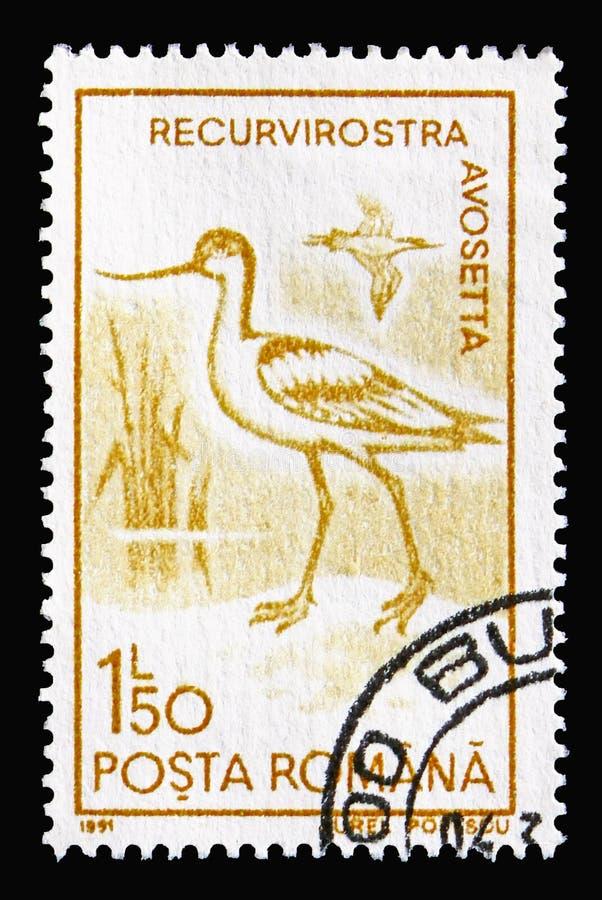 Gescheckter Avocet u. x28; Recurvirostra avosetta& x29; , Wasser-Vögel serie, circa 1 lizenzfreies stockfoto