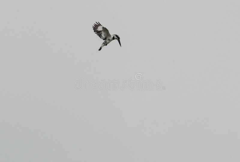 Gescheckter Eisvogel lizenzfreies stockfoto