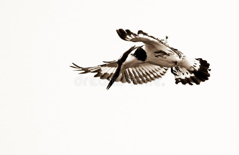 Gescheckter Eisvogel lizenzfreie stockfotos