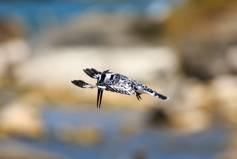 Gescheckter Eisvogel Beautful mit Flügeln verlängerte im Flug die Herstellung des Tauchens stockfotos