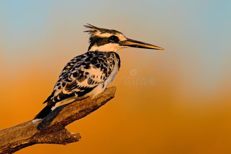 Gescheckter Eisvogel, Ceryle rudis, Schwarzweiss-Vogel, der in der Niederlassung während des Sonnenaufgangs mit nettem Licht sitz stockfoto