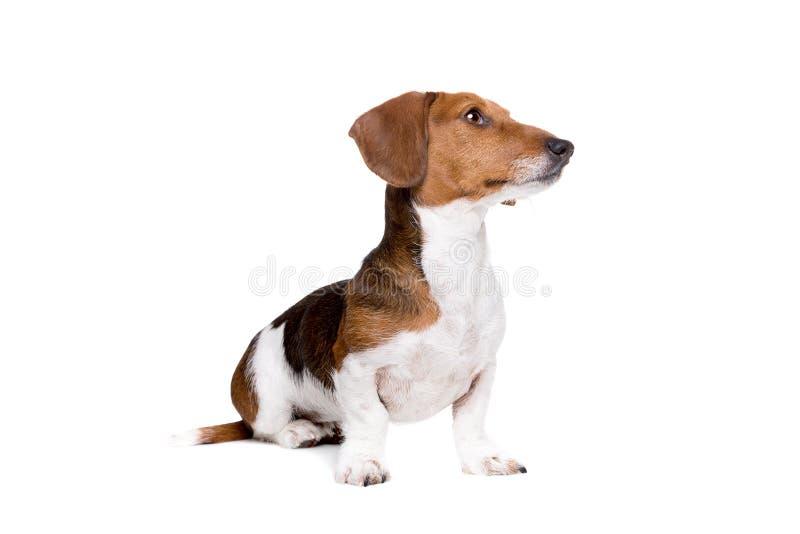 Gescheckter Hund des Dachshunds lizenzfreies stockfoto