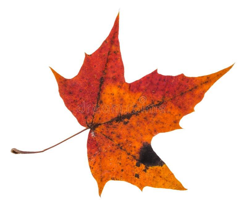 geschecktes rotes Herbstblatt des Ahornbaums lokalisiert lizenzfreies stockbild