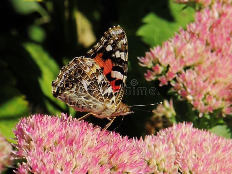 Geschilderd Dame Butterfly op Roze Bloemen stock foto