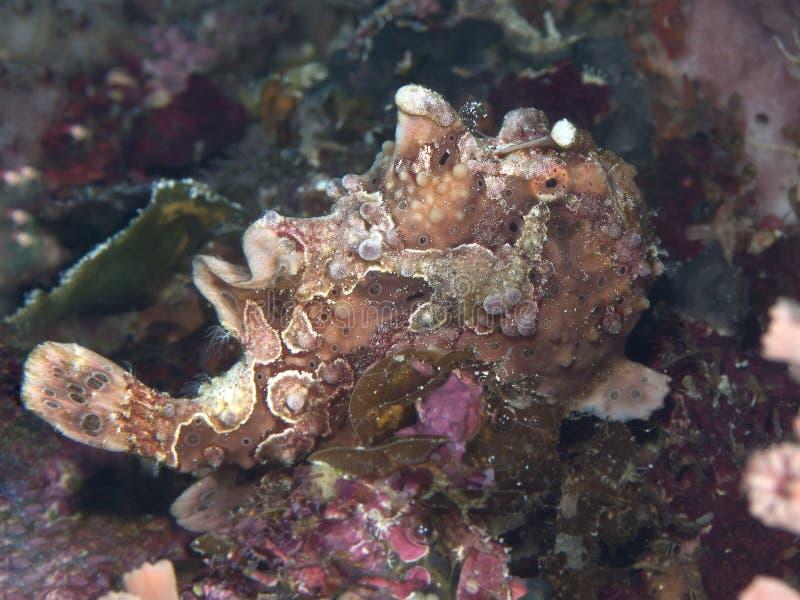 Geschilderd frogfish royalty-vrije stock foto's