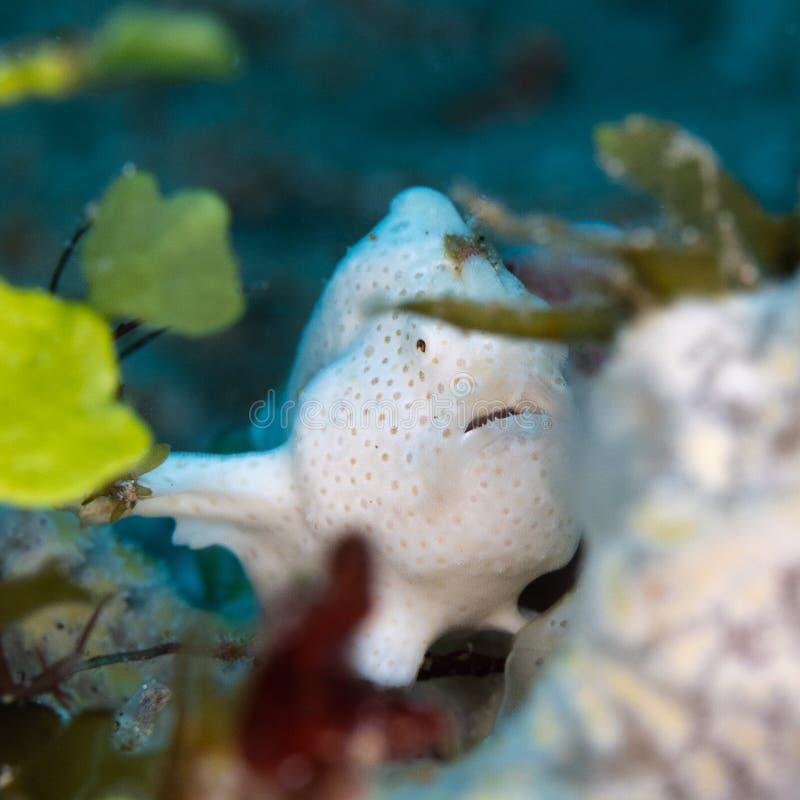 Geschilderd frogfish, Antennarius-pictus Pulisan, Indonesië royalty-vrije stock fotografie