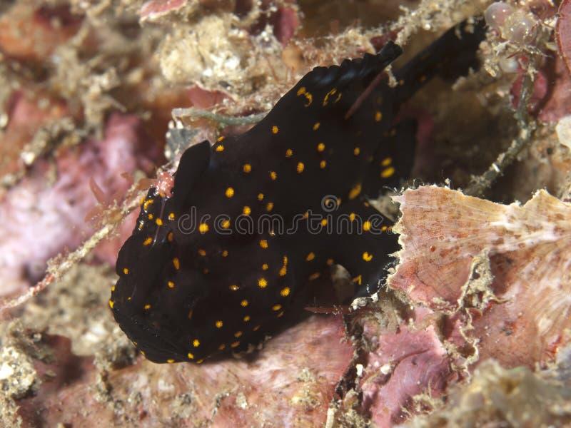 Geschilderd frogfish stock afbeeldingen
