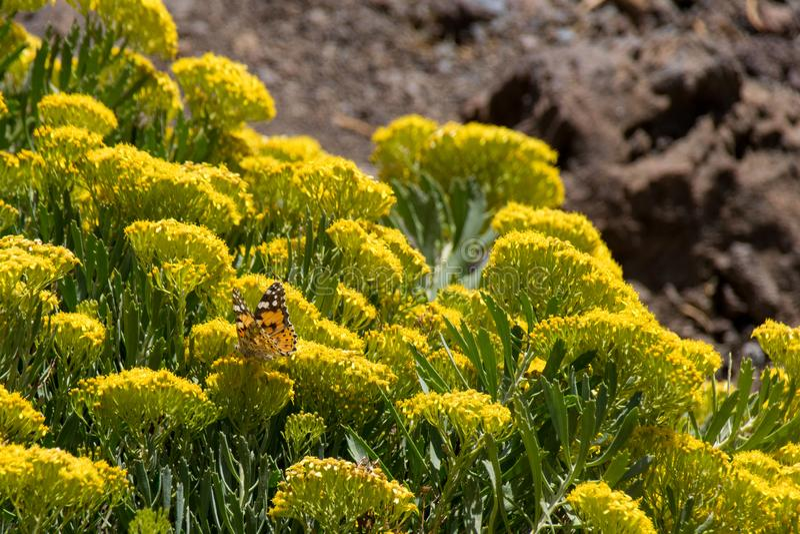 Geschilderde cardui die van Vanessa van de damevlinder nectar van wilde gele bloemen verzamelen, La Palma, Canarische Eilanden, S stock foto's