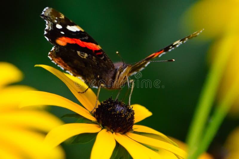 geschilderde damevlinder royalty-vrije stock afbeelding