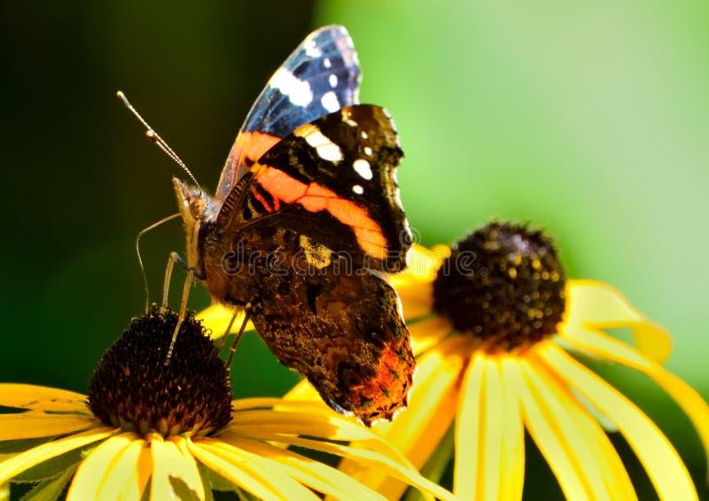 geschilderde damevlinder stock fotografie