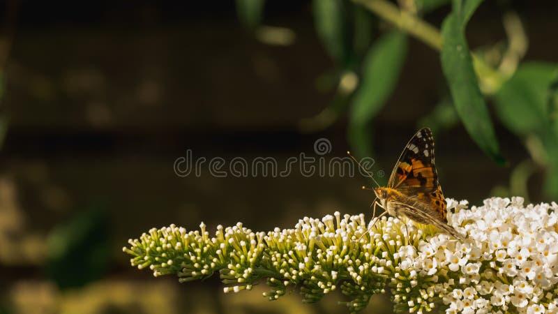 Geschilderde damevlinder die stuifmeel van Buddleja-bloesems verzamelen royalty-vrije stock afbeeldingen